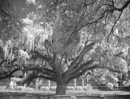 Majestic Ol' Tree (Digital Infrared)