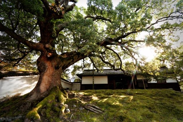 Shoren'in Temple Tree