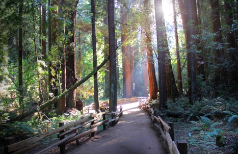 Morning at Muir Woods
